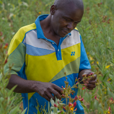 Malawi farmer Frank Zulu holding some of his pigeon pea crop
