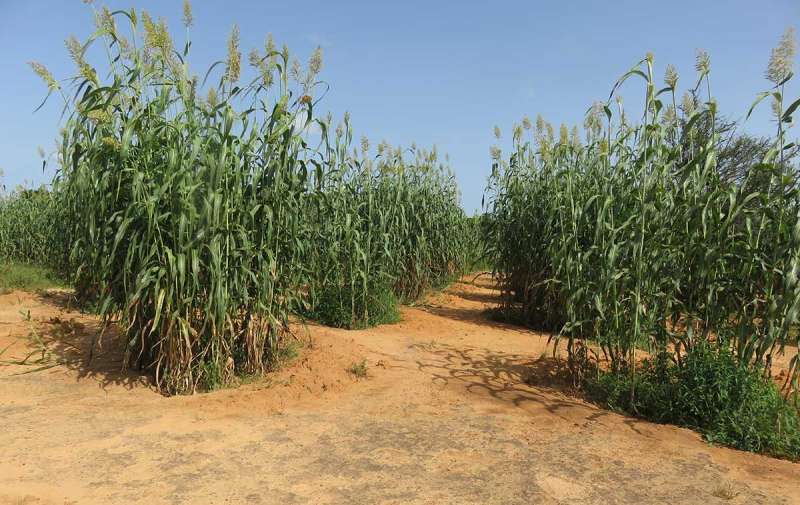 Crops growing in Burkina Faso
