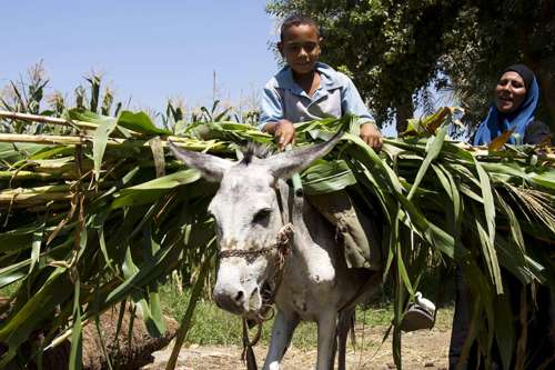 Egyptian farmer with donkey