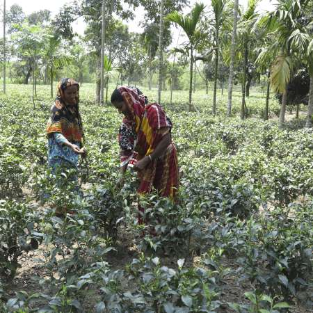 Two women picking tea leaves in a large field in Bangladesh